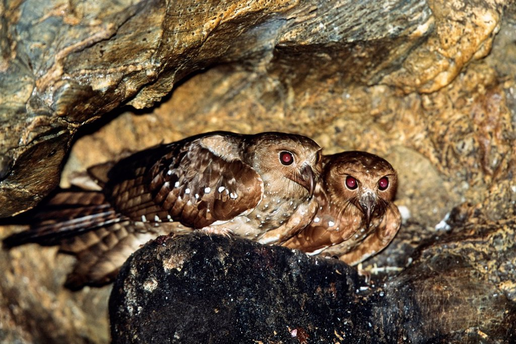 Stock Photo: 1848-702417 Oilbirds Steatornis caripensis, in the Aripo Caves, Asa Wright Nature Centre, Trinidad, West Indies, Caribbean