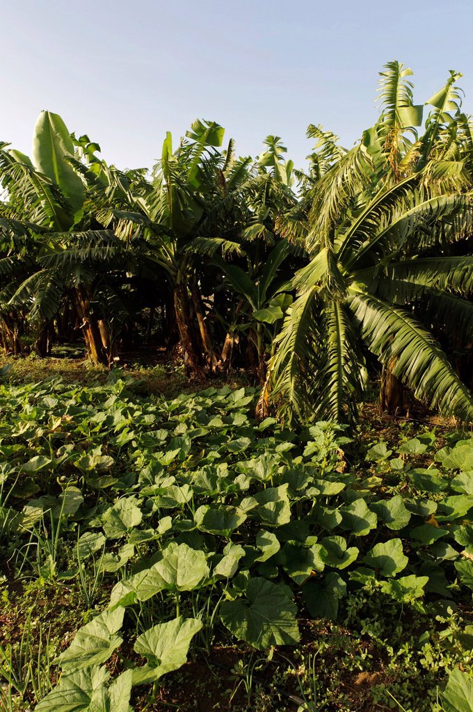 Stock Photo: 1848-702532 Vegetable patch in the south of Fogo, Cape Verde, Africa