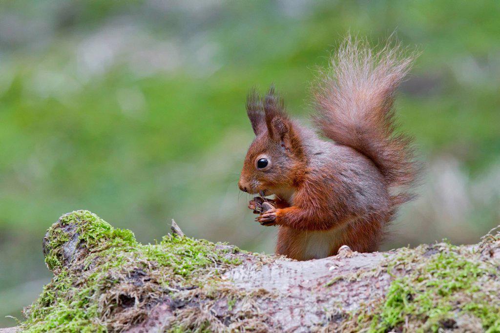 Stock Photo: 1848-703050 Red squirrel Sciurus vulgaris, north west England, United Kingdom, Europe