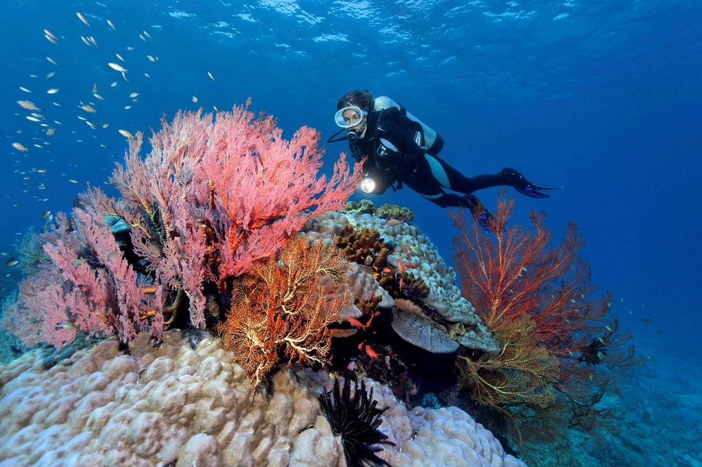 Scuba diver observing various Sea Fans Melithaea sp., stone corals and sponges, Great Barrier Reef, UNESCO World Heritage Site, Queensland, Cairns, Australia, Pacific Ocean : Stock Photo