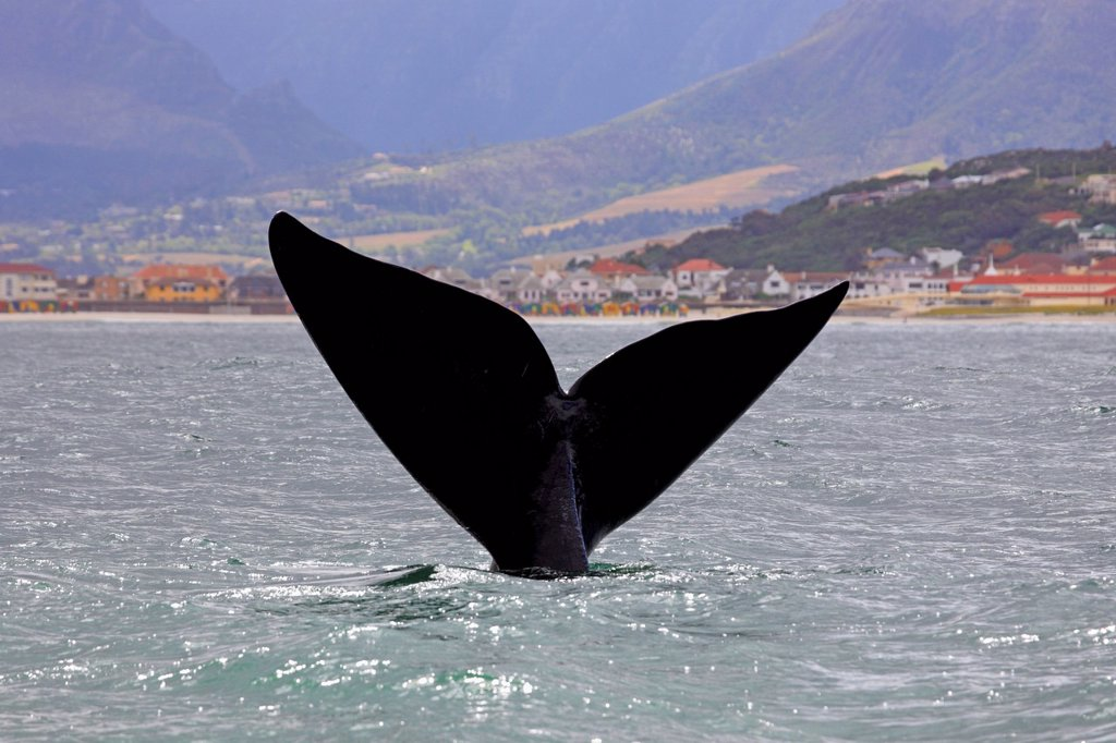 Fluke, Southern Right Whale Balaena glacialis, adult, Simon´s Town, South Africa, Africa : Stock Photo