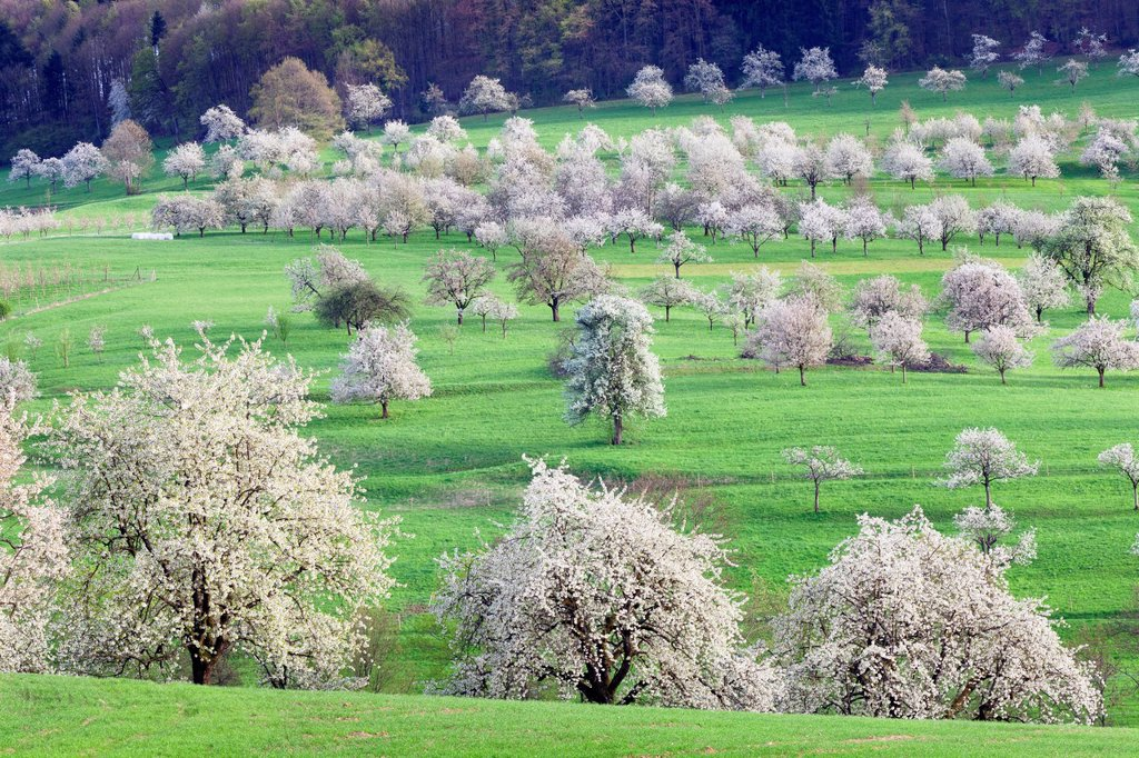 Stock Photo: 1848-703893 Blossoming cherry trees in the Eggen Valley, Markgraeflerland, Black Forest, Baden_Wuerttemberg, Germany, Europe