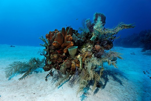 Small block of coral with various sponges and corals on a sandy seafloor, Halfmoon Caye, Lighthouse Reef, Turneffe Atoll, Belize, Central America, Caribbean : Stock Photo