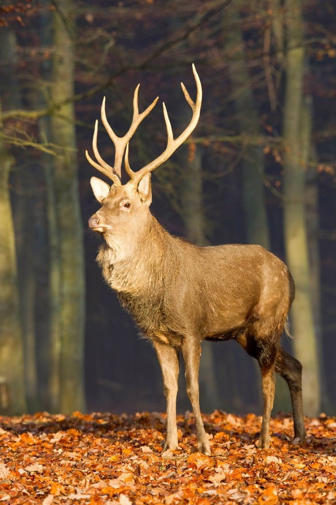 Stock Photo: 1848-705149 Sika deer Cervus nippon, Daun Deer Park, Rhineland_Palatinate, Germany, Europe