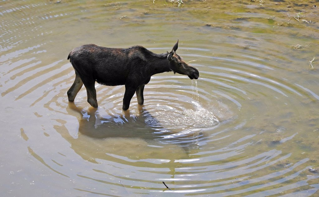 Stock Photo: 1848-705187 Moose Alces alces, Grand Teton National Park, Wyoming, United States of America, USA