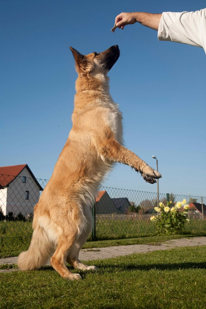 Stock Photo: 1848-705209 Shepherd dog, standing on its hind legs