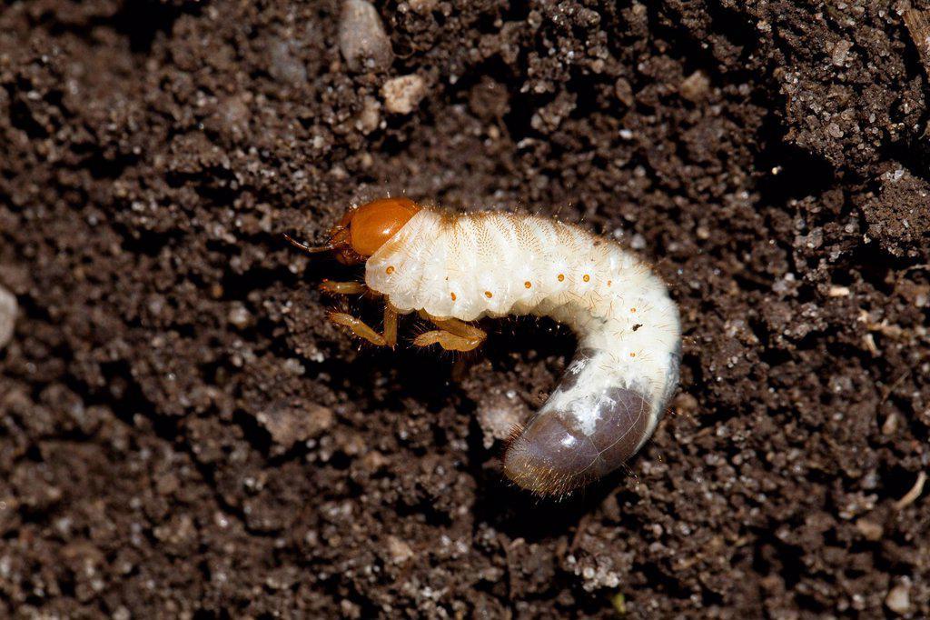 Cockchafer grub, European june beetle Amphimallon solstitialis, Bavaria, Germany, Europe : Stock Photo