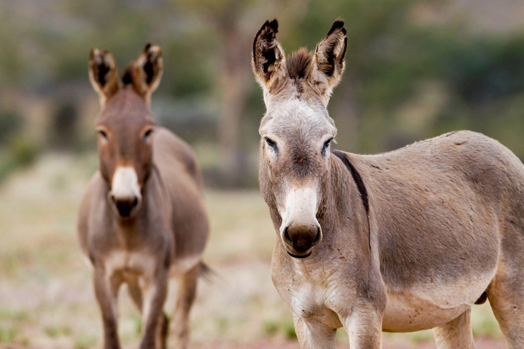 Wild donkeys Equus asinus, Northern Territory, Australia : Stock Photo