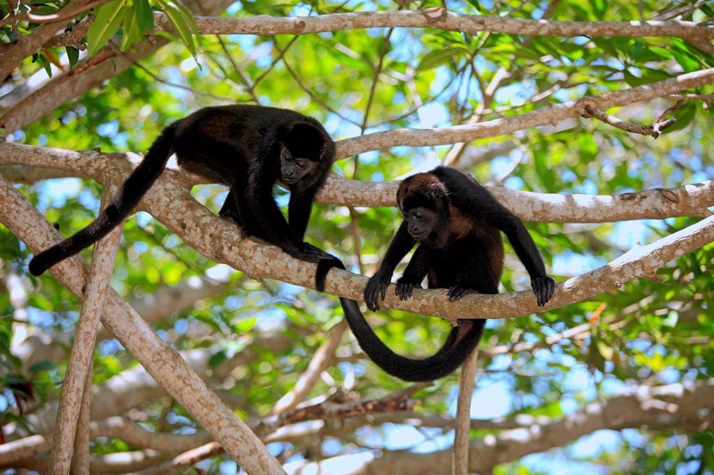 Black howlers Alouatta caraya, adult, tree, couple, Roatan, Honduras, Central America, Latin America : Stock Photo