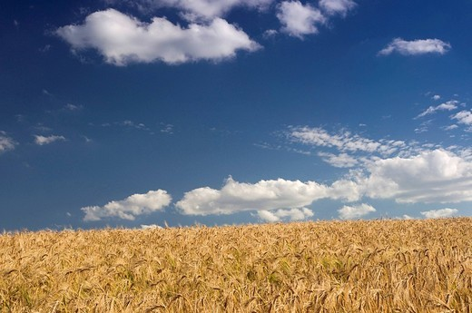 Stock Photo: 1848-70699 Barley field Hordeum vulgare