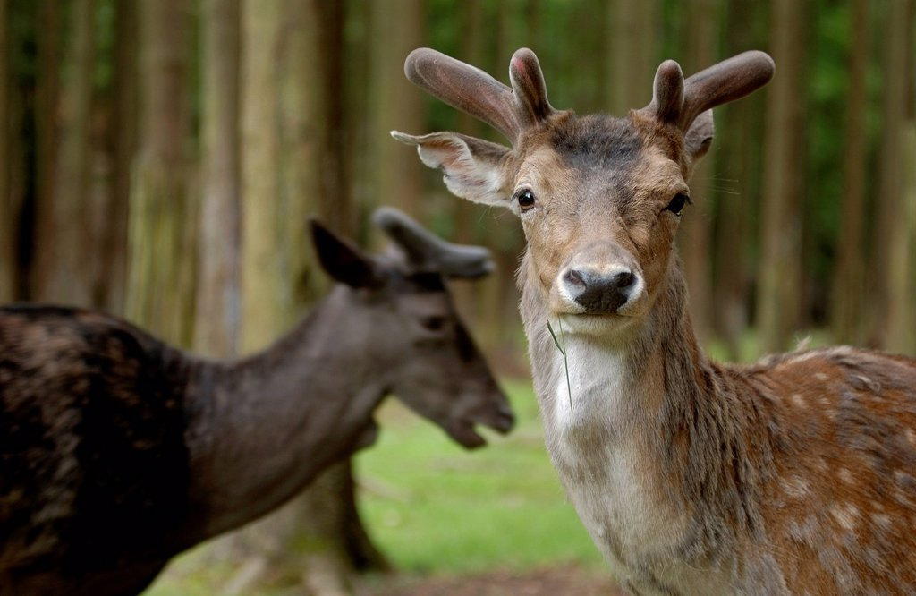 Stock Photo: 1848-707958 Fallow Deer Dama dama, in forest, Buedingen wildlife park, Hesse, Germany, Europe, PublicGround