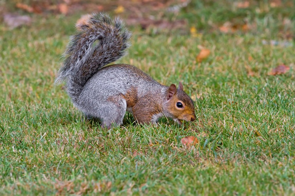 Stock Photo: 1848-709604 Gray squirrel Sciurus carolinensis, in grass, south east England, United Kingdom, Europe