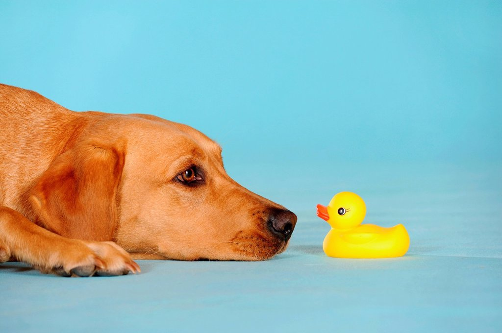 Stock Photo: 1848-710157 Labrador Retriever dog, bitch, lying in front of rubber duck
