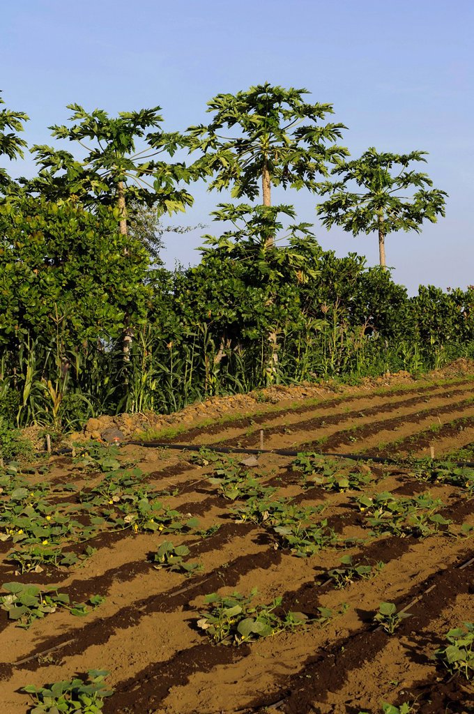 Vegetable field in the south of Fogo, Cape Verde, Africa : Stock Photo