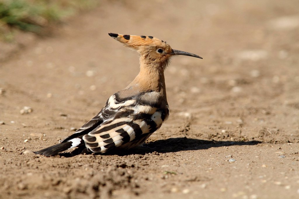 Stock Photo: 1848-710340 Hoopoe Upupa epops, on ground, Lake Neusiedl, Burgenland, Austria, Germany