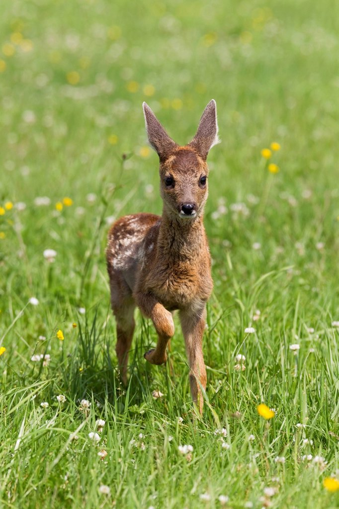Stock Photo: 1848-710589 Roe Deer Capreolus capreolus, fawn, 5_6 weeks old, Volcanic Eifel, Rhineland_Palatinate, Germany, Europe