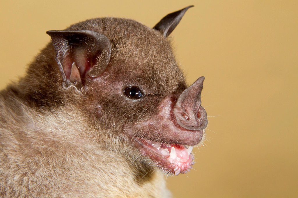 Stock Photo: 1848-710630 Pale spear_nosed bat Phyllostomus discolor, portrait, Puerto Viejo, Costa Rica, Central America