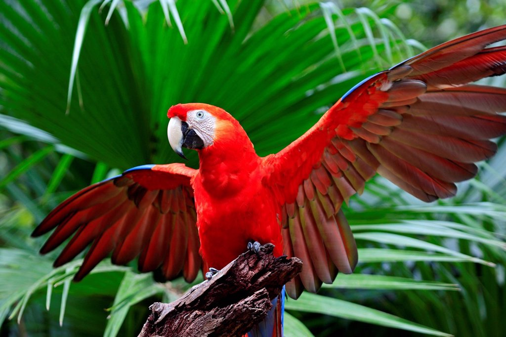 Stock Photo: 1848-711435 Scarlet Macaw Ara macao, adult, perched on a lookout with its wings spread, Roatan, Honduras, Caribbean, Central America, Latin America