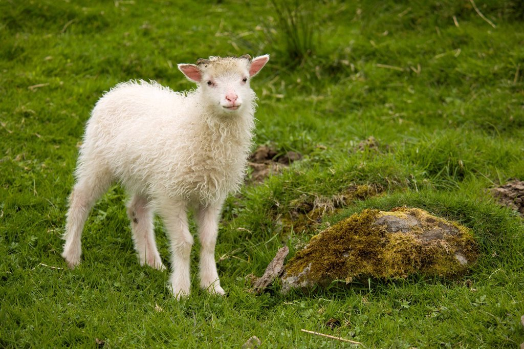 Stock Photo: 1848-711943 Lamb on Sheep Island, Faroe Islands, island group in the North Atlantic, Denmark, Northern Europe