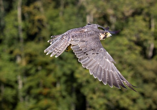 Stock Photo: 1848-71324 Peregrine falcon Falco peregrinus in flight, Vulkan Eifel, Rhineland_Palatinate, Germany, Europe