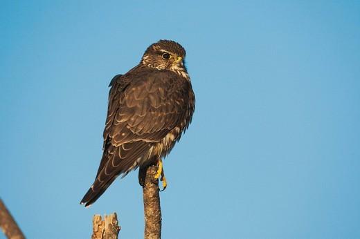 Merlin Falco columbarius, adult perched, Sinton, Corpus Christi, Coastal Bend, Texas, USA : Stock Photo