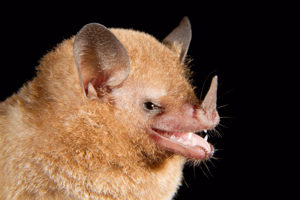 Stock Photo: 1848-713727 Pallas´s long_tongued bat Glossophaga soricina, portrait, Puerto Viejo, Costa Rica, Central America