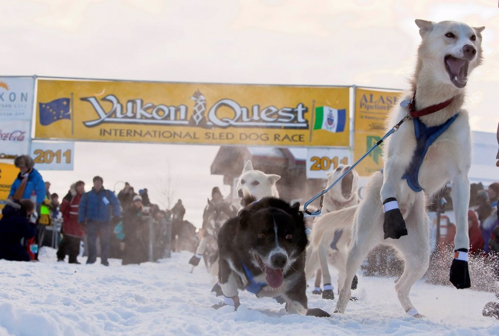 Stock Photo: 1848-713986 Dog team, sled dog, jumping, excited, leaders, Alaskan Huskies at the start of the Yukon Quest 1, 000_mile International Sled Dog Race 2011, Whitehorse, Yukon Territory, Canada