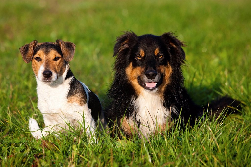 Stock Photo: 1848-714249 Jack Russell Terrier and Australian Shepherd sitting in a meadow, northern Tyrol, Austria, Europe