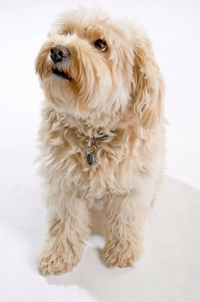Tibetan Terrier, beige, looking up : Stock Photo