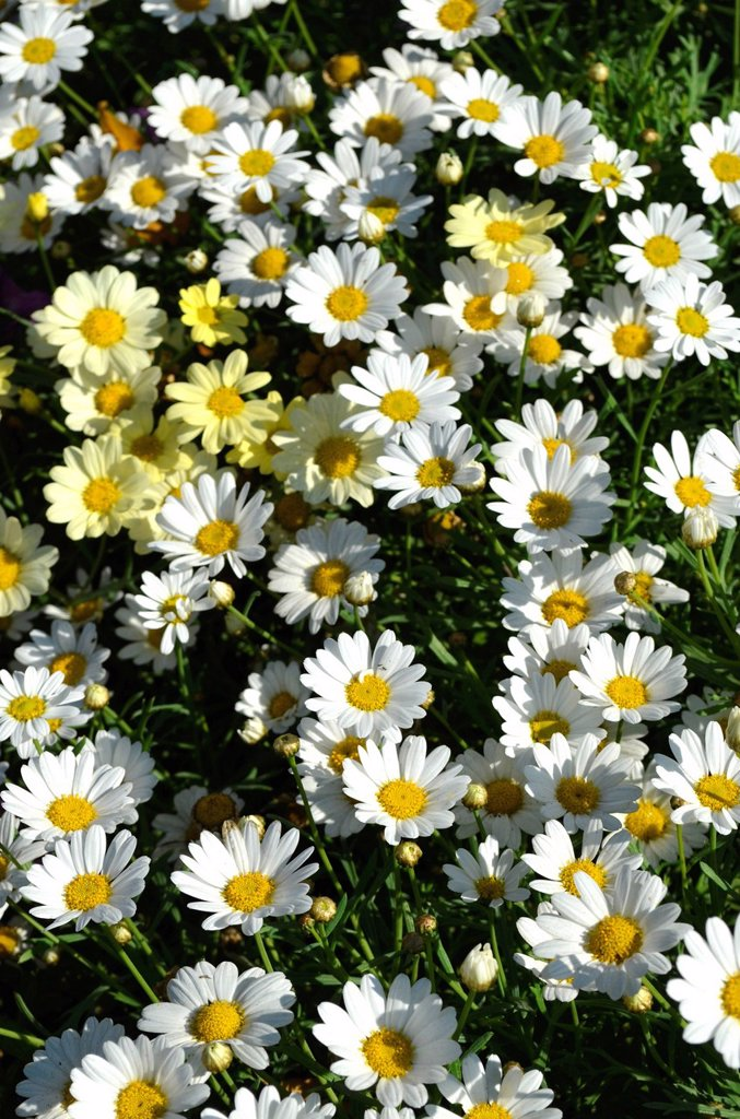 White and yellow Marguerite Daisy or Summer Daisy Argyranthemum frutescens : Stock Photo