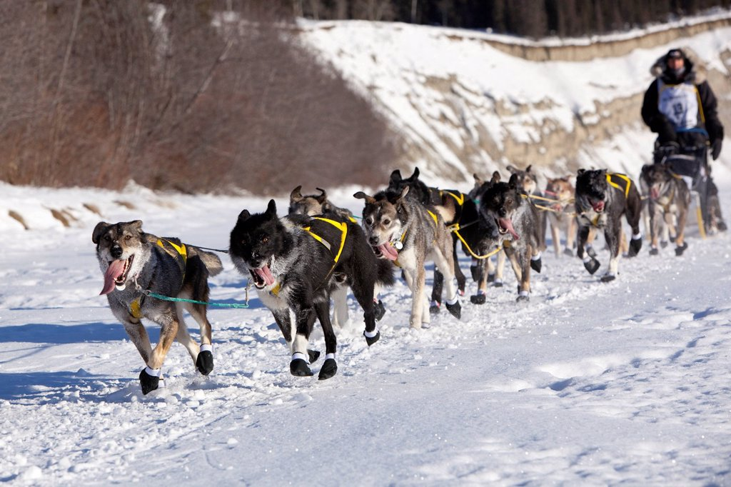 Stock Photo: 1848-714825 Running dog team, sled dogs of 4 time champion musher Hans Gatt, mushing, Alaskan Huskies at the start of the Yukon Quest 1, 000_mile International Sled Dog Race 2011, ice of frozen Takhini River, Yukon Territory, Canada