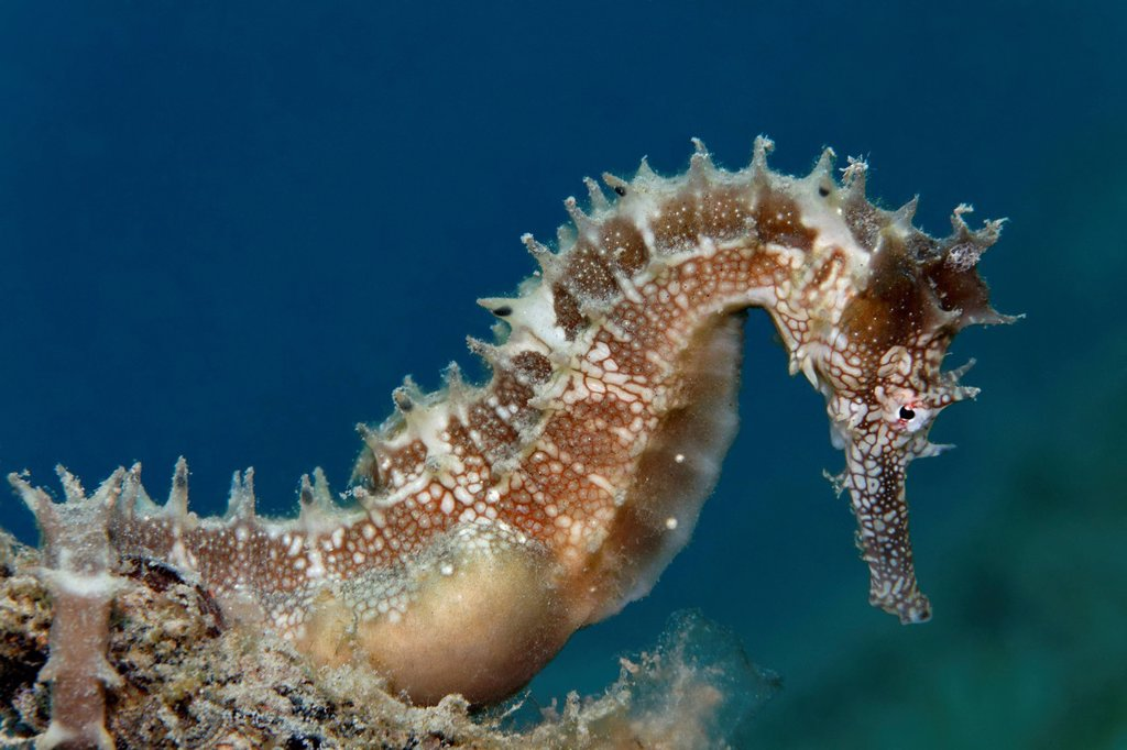 Stock Photo: 1848-714967 Thorny Seahorse Hippocampus histrix, Great Barrier Reef, UNESCO World Heritage Site, Queensland, Cairns, Australia, Pacific Ocean