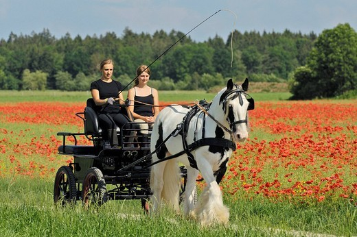 Stock Photo: 1848-71623 Two girls in a carriage drawn by an Irish Tinker in front of a poppy field