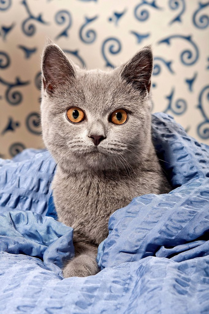 Chartreux _ British Shorthair cat, colour blue, with a blanket : Stock Photo