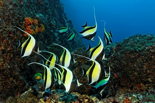 Shoal of Moorish idols Zanclus cornutus, swimming along a reef, Cocos Island, Central America, Pazific : Stock Photo