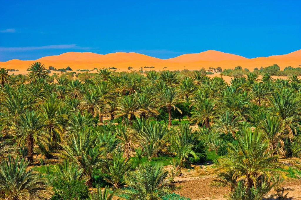Stock Photo: 1848-717019 Palm grove, Date palms Phoenix in front of the sand dunes of Erg Chebbi, Sahara, southern Morocco, Africa
