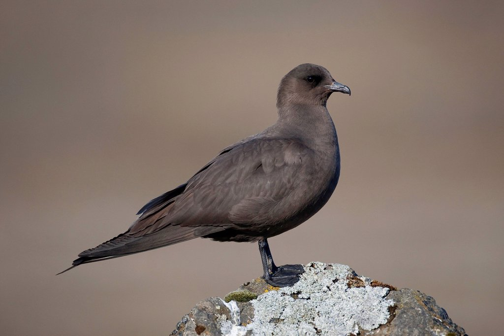 Stock Photo: 1848-717109 Arctic Skua Stercorarius parasiticus, dark brown plumage, Joekulsarlon, Iceland, Europe