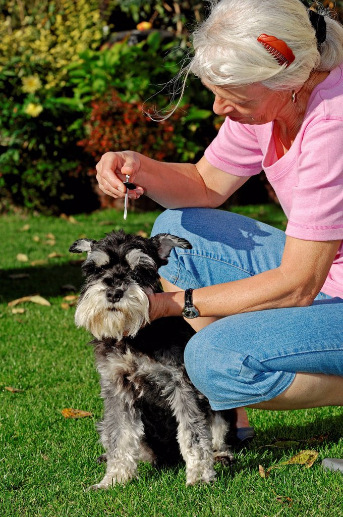 Stock Photo: 1848-717291 Woman removing a European Castor Bean Tick Ixodes ricinus from a Miniature Schnauzer Canis lupus familiaris, black and silver, Bergkamen, North Rhine_Westphalia, Germany, Europe