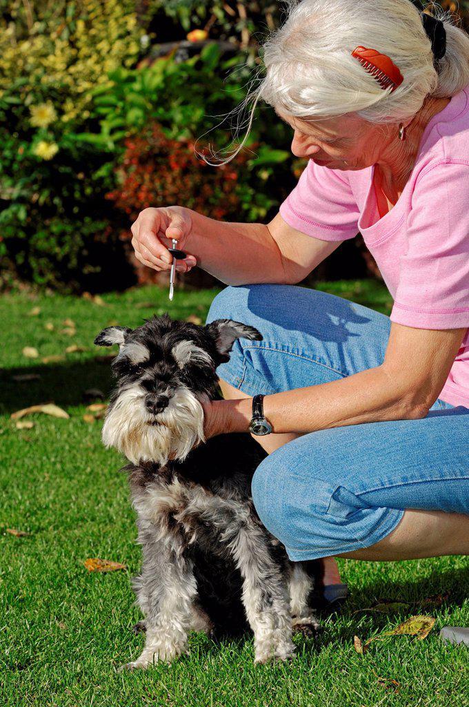Woman removing a European Castor Bean Tick Ixodes ricinus from a Miniature Schnauzer Canis lupus familiaris, black and silver, Bergkamen, North Rhine_Westphalia, Germany, Europe : Stock Photo