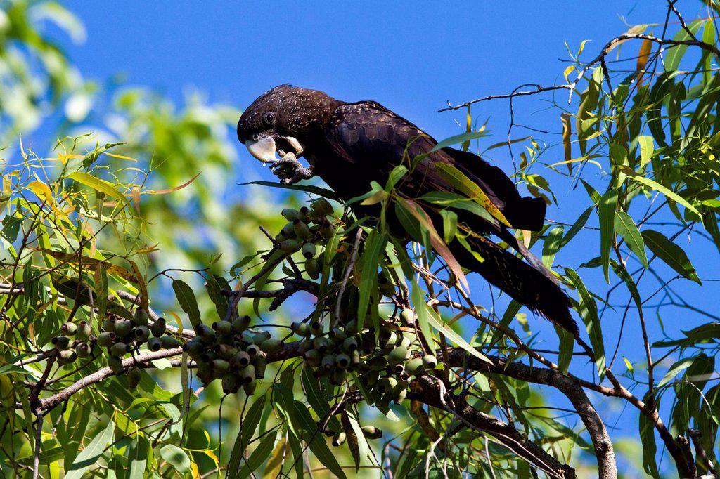 Red_tailed black cockatoo Calyptorhynchus banksii, formerly Calyptorhynchus magnificus, Kakadu National Park, Northern Territory, Australia : Stock Photo