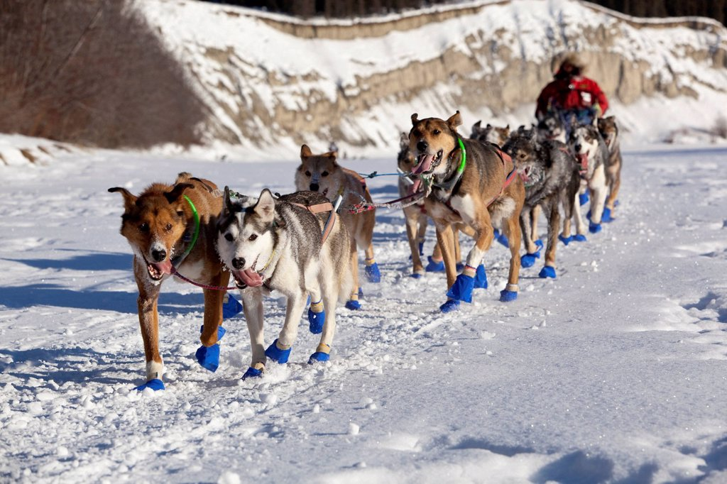 Stock Photo: 1848-718015 Running dog team, sled dogs, mushing, Alaskan Huskies, 2009 champion musher Sebastian Schnuelle at the start of the Yukon Quest 1, 000_mile International Sled Dog Race 2011, ice of frozen Takhini River, Yukon Territory, Canada