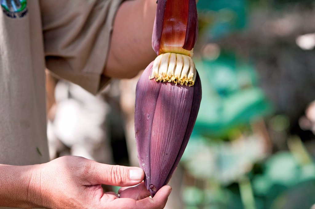 Stock Photo: 1848-718423 Hands holding Banana flower Musa
