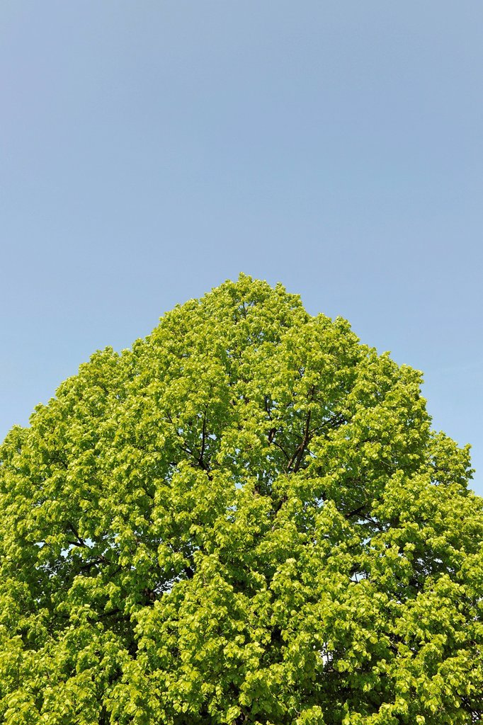 Crown of a Small_leaved Lime Tilia cordata against a blue sky, with space for text, Thuringia, Germany, Europe : Stock Photo