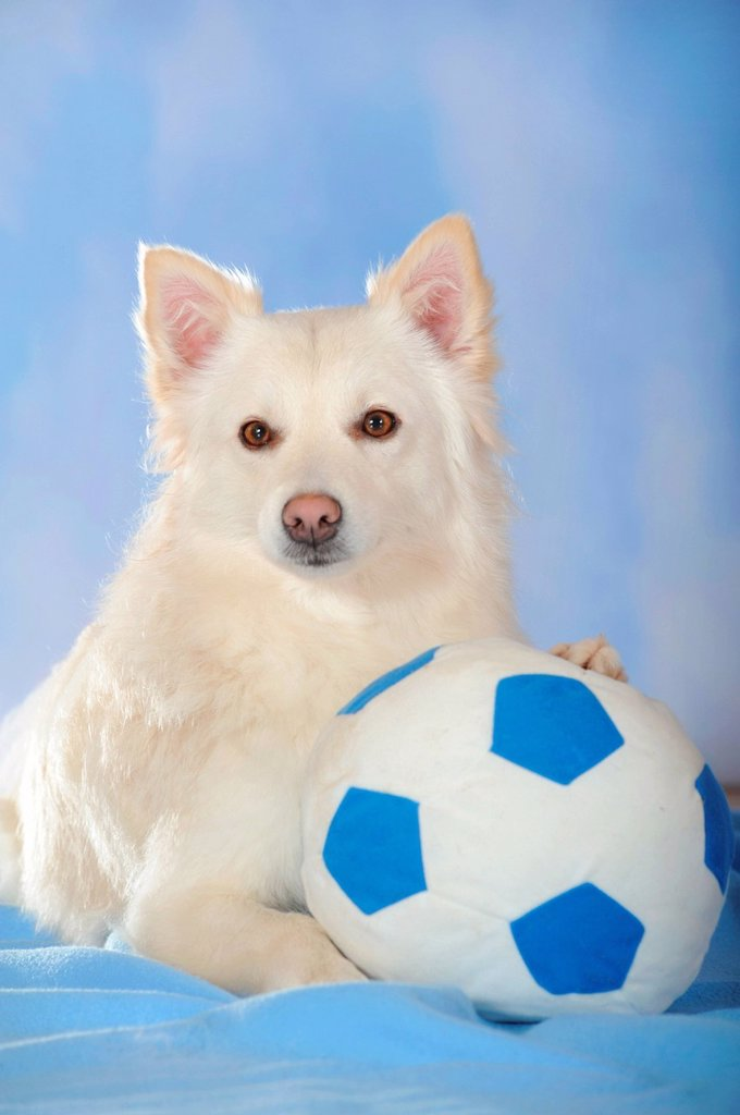 Stock Photo: 1848-719331 Spitz crossbreed lying with its paw on a ball