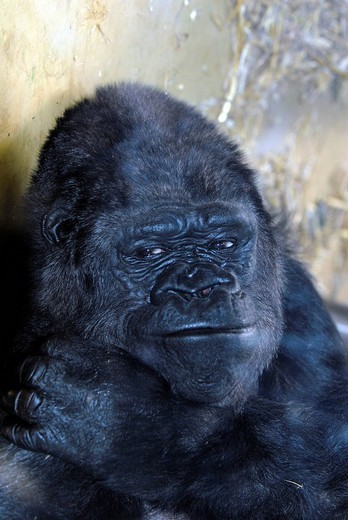 Eastern Lowland Gorilla Gorilla beringei graueri at a zoo in Germany, Europe : Stock Photo
