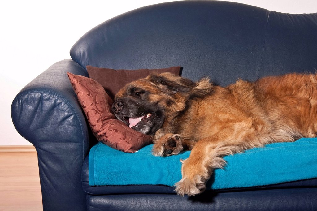 Stock Photo: 1848-720645 Leonberger dog on a sofa