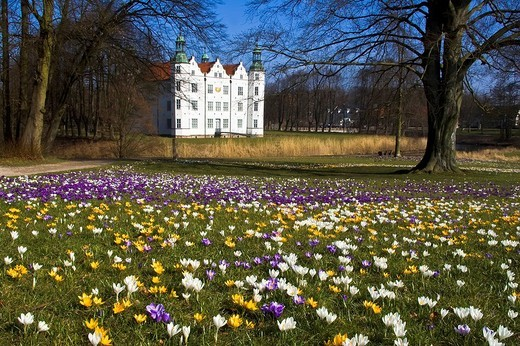 Flowering crocuses gardens of the white moated castle in Ahrensburg, Schleswig_Holstein, Germany, : Stock Photo
