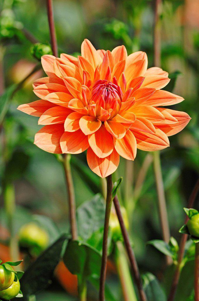 Dahlia Royal Diana Dahlia sp., flower : Stock Photo