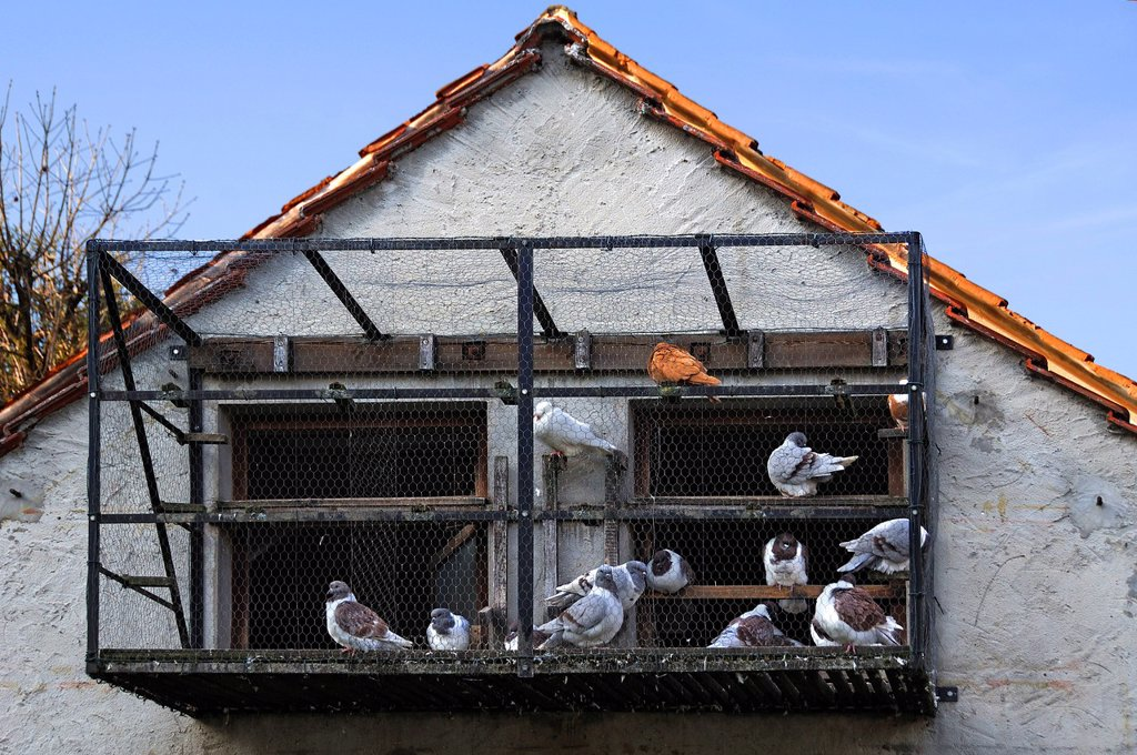Carrier pigeons in a cage at a dovecote, Betzenstein, Upper Franconia, Bavaria, Germany, Europe : Stock Photo