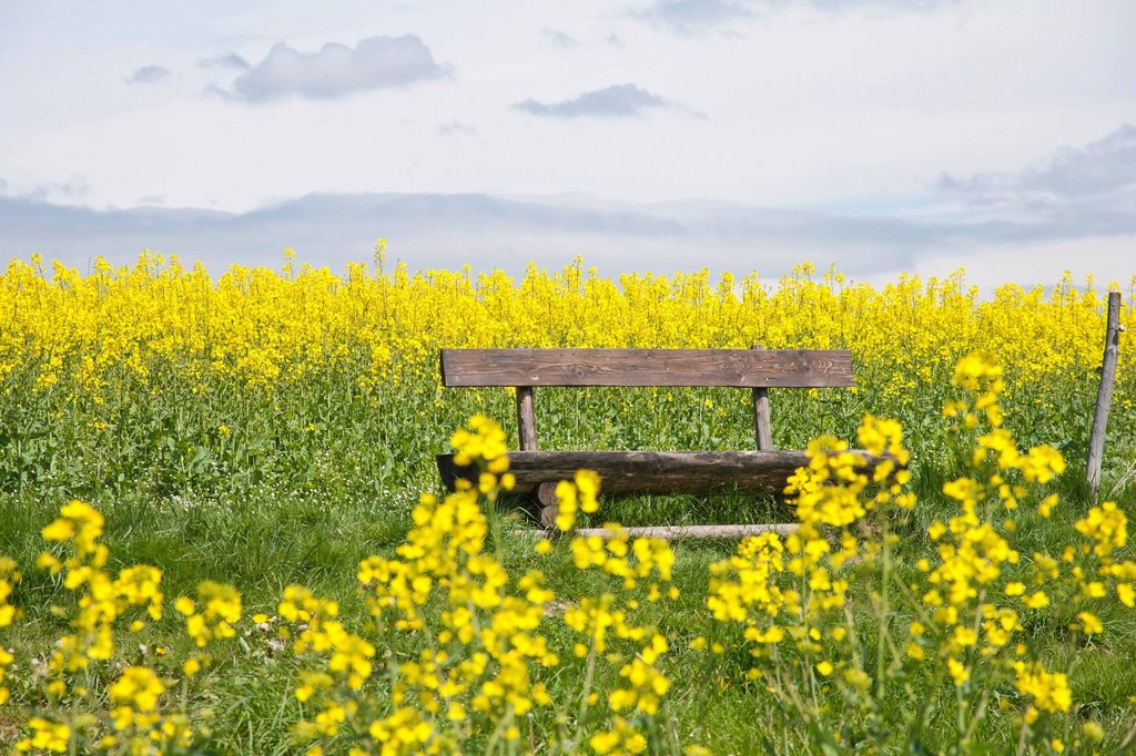 Wooden bench in a blooming canola field, Gossdorf, Saxon Switzerland, Saxony, Germany, Europe : Stock Photo